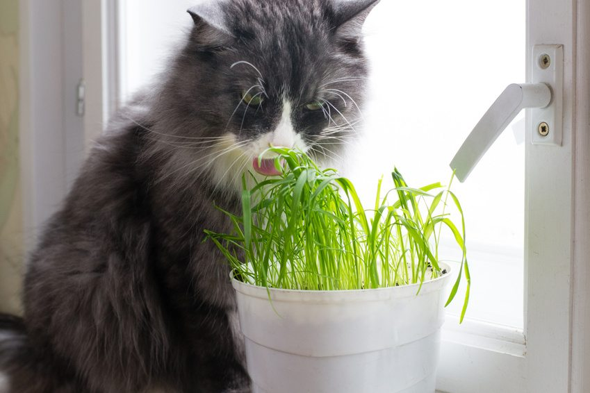 herbe à chat effet