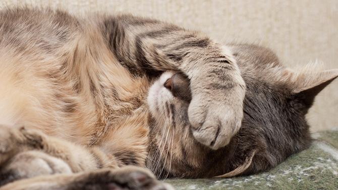 rhume chez le chat